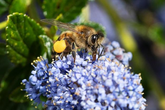 Abeille à miel collecte du pollen sur une fleur dans le jardin