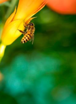 Abeille à miel collecte du pollen à fleur jaune.abeille, abeille sur une fleur d'été