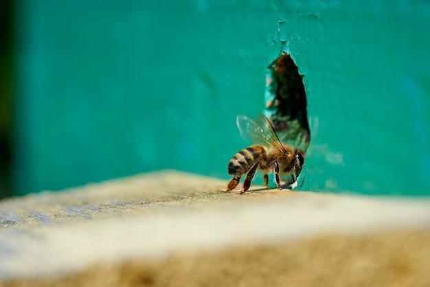 Abeille à miel dans l'entrée d'une ruche en bois.