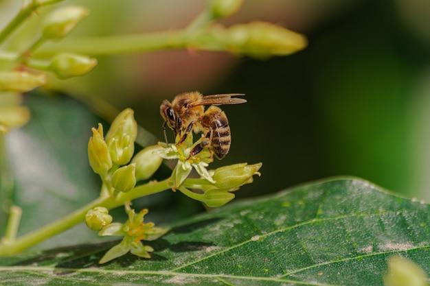 Abeille à miel européenne (apis mellifera), fleur d'avocat pollinisateur (persea americana)