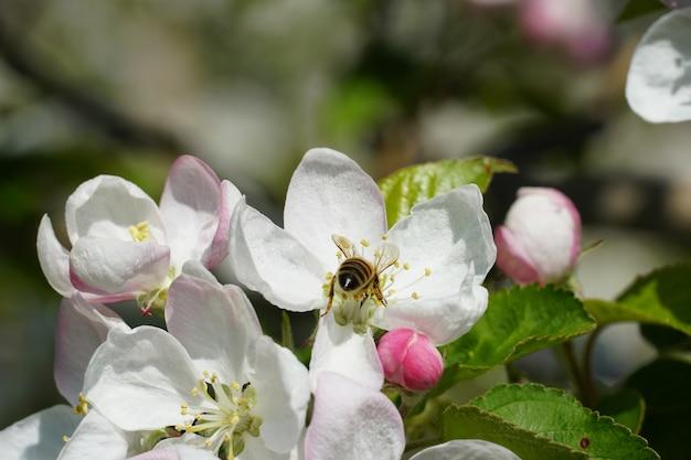 Abeille à miel sur une fleur blanche avec un arrière-plan flou