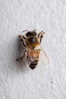 Abeille à miel de l'ouest de l'espèce apis mellifera dans le mur
