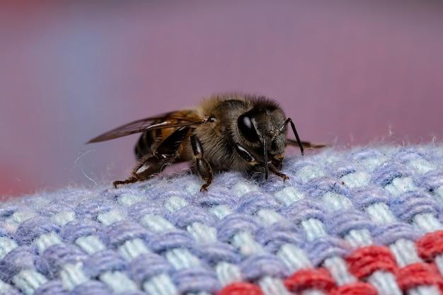 Abeille à miel de l'ouest de l'espèce apis mellifera