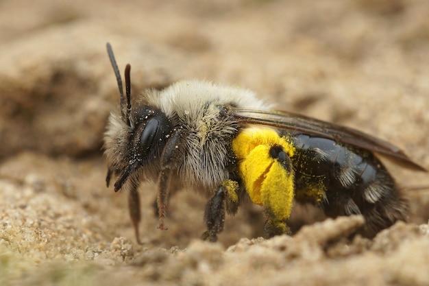 Abeille minière femelle à dos gris et pollen de saule