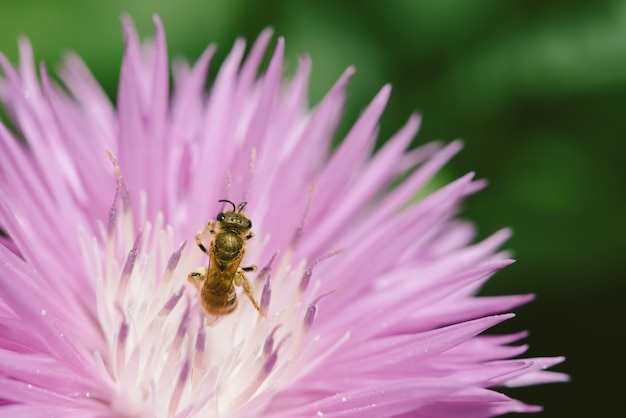 Abeille d'or pollinise le bleuet rose avec le centre blanchâtre en journée ensoleillée se bouchent.