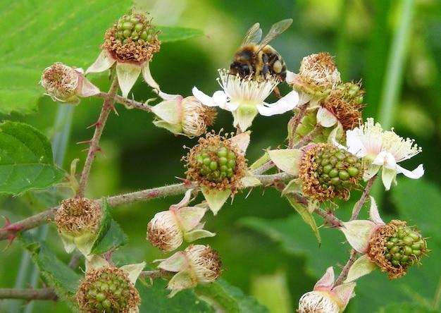 Une abeille parmi les baies