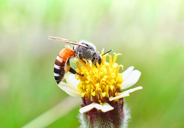 L'abeille perchée sur une fleur de marguerite tridax dans la prairie de la nature, concept macro en gros plan d'insectes