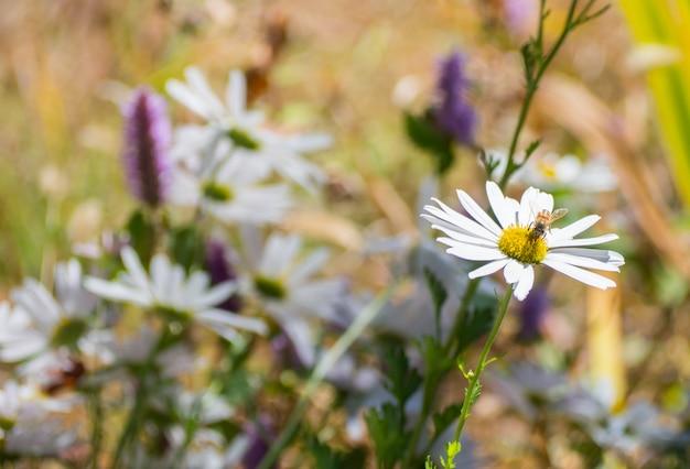 Abeille sur pollen en fleur blanche dans le jardin le matin