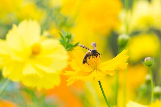 Abeille sur le pollen de fleurs jaune doux cosmos dans le jardin
