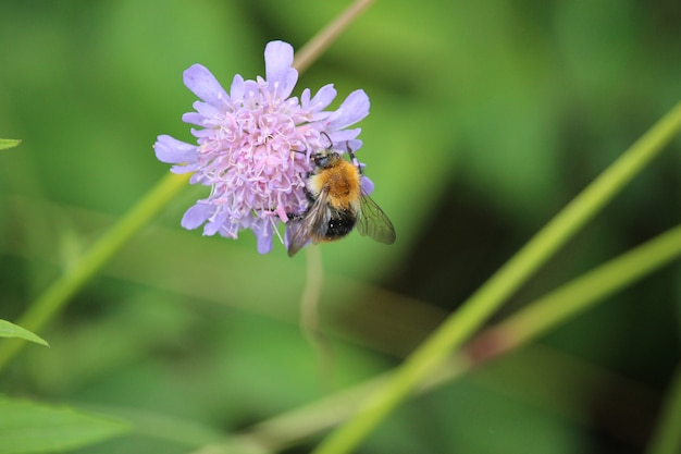 Abeille pollinisateur apis mellifera sur prairie fleur sauvage