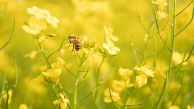Abeille pollinisatrice fleur jaune dans la prairie de printemps.