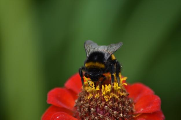 L'abeille pollinise la fleur dans le jardin