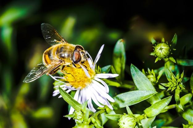 Abeille pollinise fleur erigeron dans le jardin botanique, arrière-plan macro photo