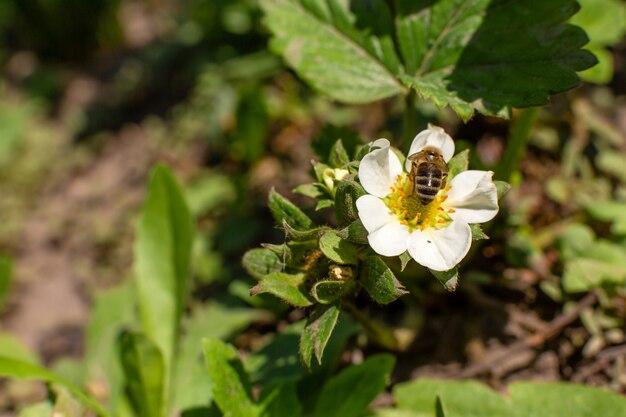 Une abeille pollinise une fleur de fraise dans le jardin