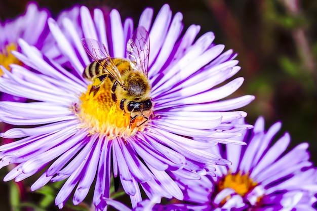 Abeille pollinise le pyrèthre dans le jardin, arrière-plan macro photo