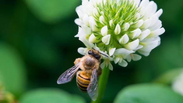 Abeille ramassant du nectar