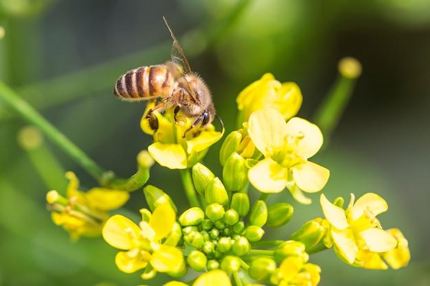 Abeille récoltant du pollen sur une fleur de canola