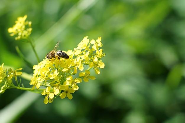 Une abeille recueille du pollen sur une fleur jaune en été