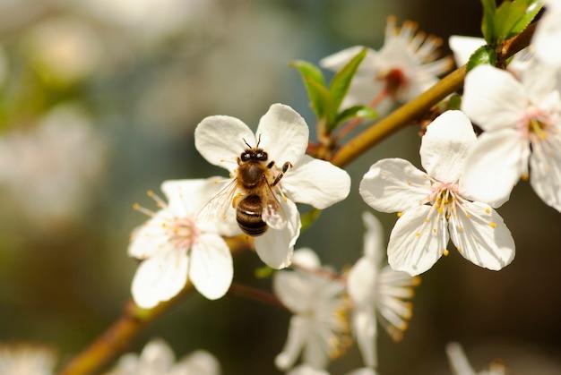 Une abeille recueille le nectar des fleurs d'un arbre