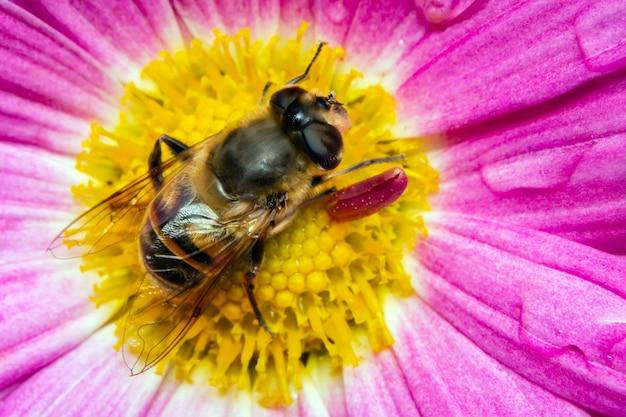 L'abeille recueille le pollen assis sur une fleur.