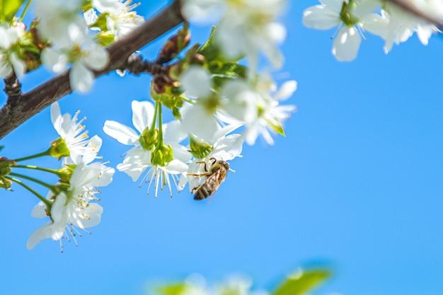 Abeille recueille le pollen et le nectar d'une branche dans un jardin de fleurs de cerisier