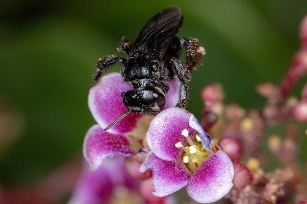 Abeille sans dard femelle adulte du genre trigona sur une fleur de carambole de l'espèce averrhoa carambola avec mise au point sélective