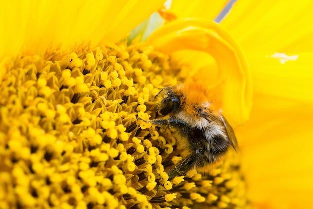 Abeille sauvage recueille le pollen, le nectar en fleur de tournesol jaune, selective focus