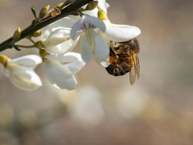 Abeille suçant le nectar d'une fleur.