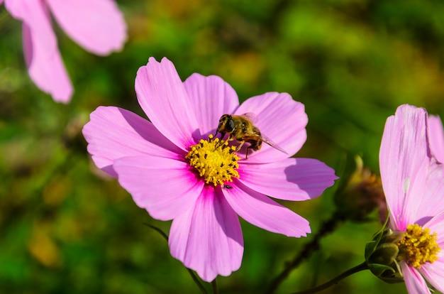 Abeille travailleuse travaille sur une fleur - recueille le pollen