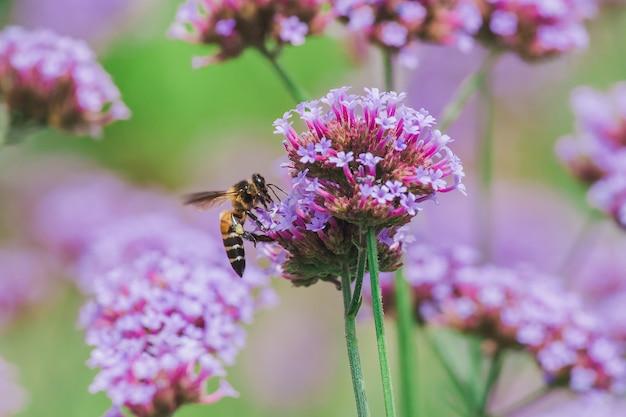 L'abeille de verveine est belle et fleurie à la saison des pluies.