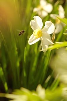 Une abeille vole vers un narcisse en fleurs