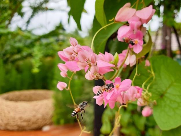 Les abeilles sur la fleur de plante grimpante mexicaine rose dans le jardin