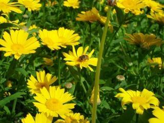 Abeilles sur les fleurs jaunes, calendulas