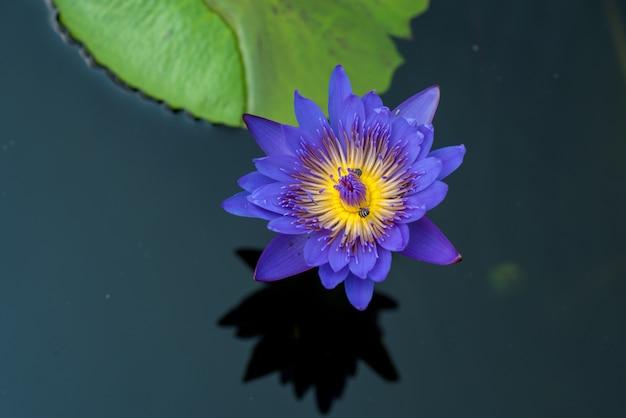 Les abeilles prennent le nectar de la belle fleur de nénuphar ou de lotus pourpre. image macro de l'abeille et de la fleur.