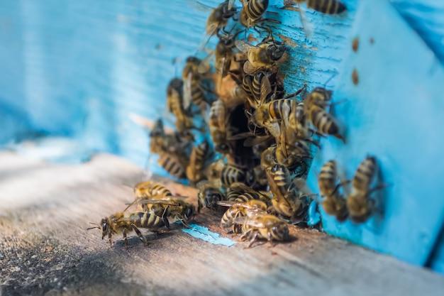 Les abeilles pullulent à l'entrée de la ruche peinte en bleu