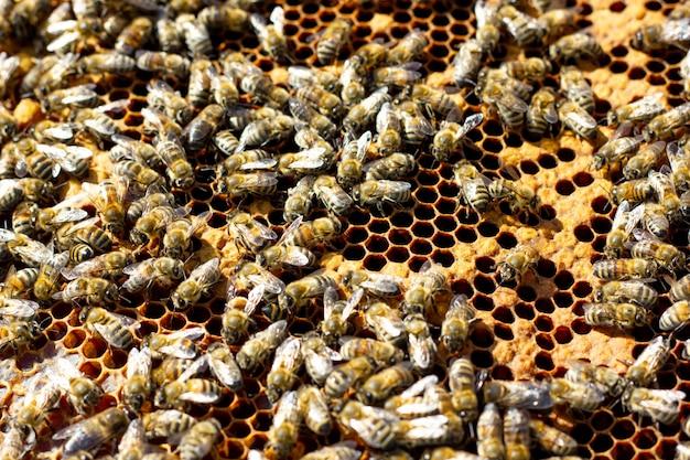 Les abeilles rampent sur un gros plan de cadre en bois. abeilles sur un cadre avec fond de miel. le concept de l'apiculture