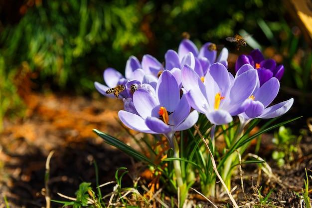 Abeilles récoltant du pollen