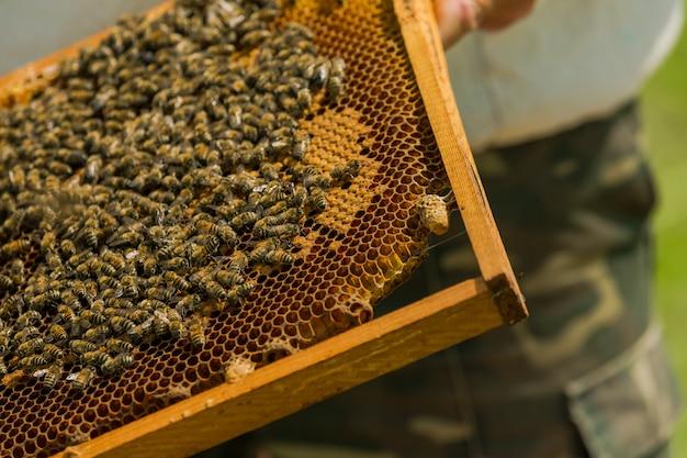 Abeilles travaillant sur des nids d'abeilles. l'apiculteur sort le cadre avec un nid d'abeilles de la ruche à mains nues.