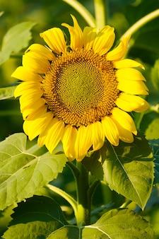 Les abeilles trouvent le nectar du tournesol