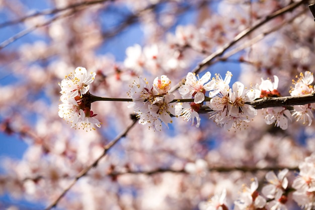 Abricot dans le jardin de printemps pendant la floraison, petit blanc avec des fleurs de fleurs rouges sur fond de printemps ensoleillé par temps clair