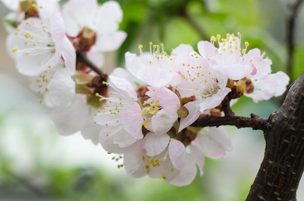 Abricot en fleurs dans le jardin.