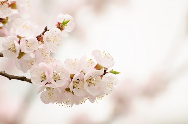 Abricot en fleurs dans le jardin