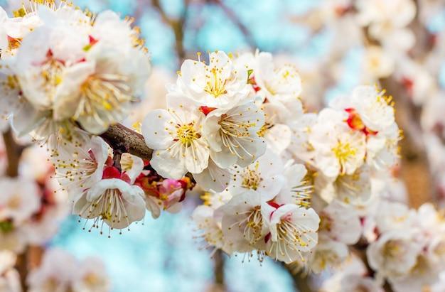 Abricot en fleurs par temps ensoleillé