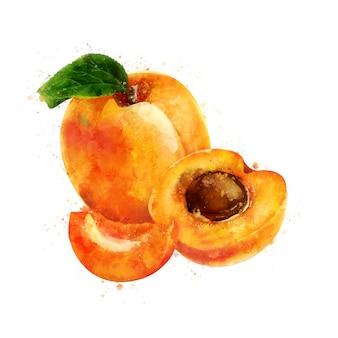 Abricot. illustration aquarelle