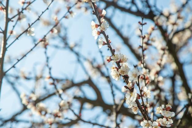 Abricotier en fleurs dans le jardin
