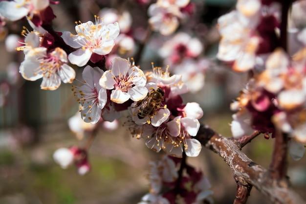 Abricotier à floraison printanière