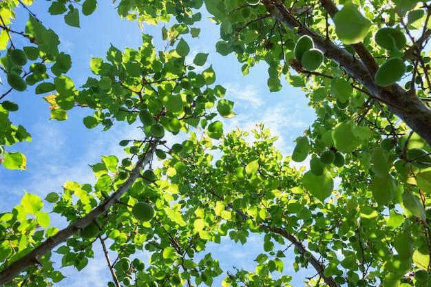 Abricotier avec fruits mûrs verts, vue de dessous. journée ensoleillée avec ciel bleu