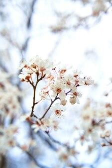 Les abricotiers fleurissent avec des fleurs blanches au début du printemps.