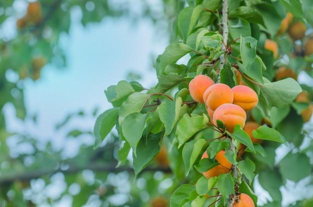 Abricots sur une branche. abricots sur l'arbre