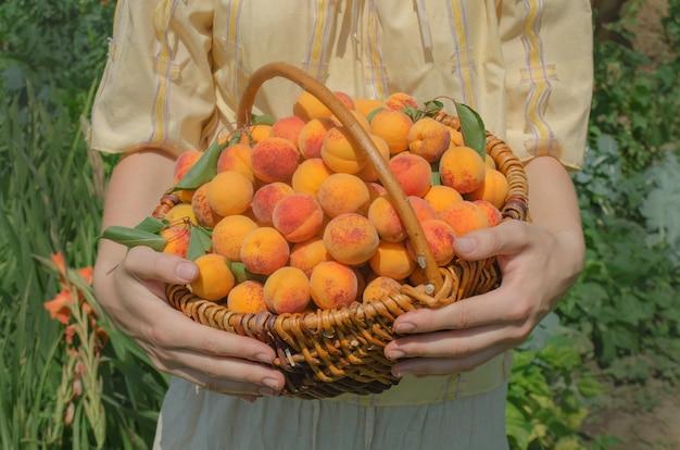 Abricots dans le panier